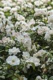 Куст белой розы Стоковые Фотографии RF