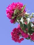 Куст бугинвилии с розовыми пурпурными цветками стоковое изображение rf