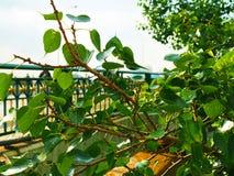 Куст ветви дерева Bhuddhist ` Pho ` формы сердца малый Стоковое Фото