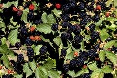 Куст ежевики с плодоовощами Стоковое Фото