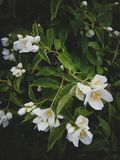 Куст жасмина после дождя, Blossoming сада Стоковая Фотография RF