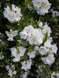 Куст жасмина после дождя, Blossoming сада Стоковые Фотографии RF