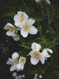 Куст жасмина после дождя, Blossoming сада Стоковые Изображения