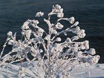 Куст замерли зимой, который Стоковое Изображение