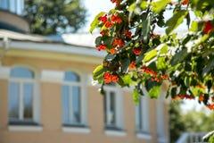 Куст калины с красными зрелыми ягодами на предпосылке bea Стоковое Фото
