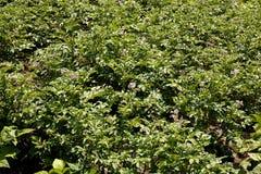 Куст картошки зацветая с цветками Стоковое Изображение