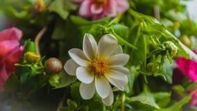 Куст красного цвета белизны сада цветков георгинов Стоковое Изображение