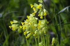 Куст малых желтых цветков в зеленой траве Стоковое Изображение