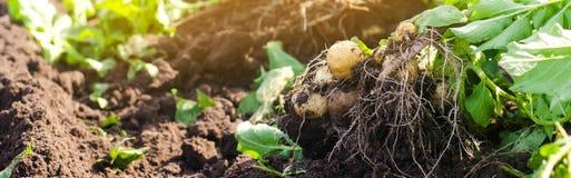 куст молодых желтых картошек, жмущ, свежие овощи, агро-культура, сельское хозяйство, конец-вверх, хороший сбор, вытрезвитель, вег стоковое изображение