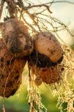 Куст молодых свежих картошек Стоковая Фотография RF