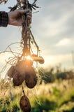 Куст молодых свежих картошек Стоковая Фотография