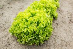 Куст органического салата на ферме стоковая фотография rf