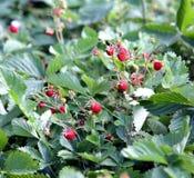 Куст одичалой клубники с зрелыми ягодами и зелеными листьями Макрос стоковая фотография rf