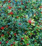 Куст падуба с красными ягодами Стоковая Фотография