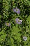 Куст плода шиповника в поле Стоковое Изображение