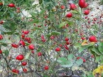 Куст плода шиповника Стоковые Изображения RF