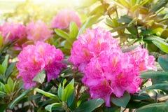 Куст рододендрона цветения с розовыми цветками стоковые изображения