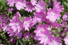 Куст розового самогона Achillea сложноцветные цветет стоковое фото