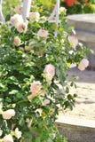 Куст роз в саде лета Стоковое Фото