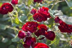 Куст роз красного вина Стоковые Фотографии RF