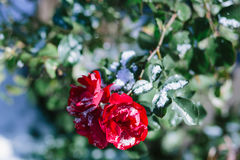Куст роз покрытый с снегом Стоковые Фото