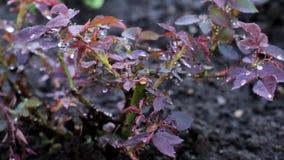 Куст роз под дождем сток-видео