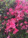 Куст роз, розовый куст Стоковая Фотография
