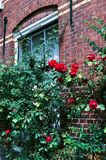 Куст роз стоковая фотография