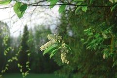 Куст сезона цветенй вишни птицы Стоковые Фотографии RF