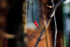 Куст с сериями красных ягод на ветвях, осенняя предпосылка кизильника Кусты красочной осени конца-вверх дикие с красным цветом стоковые фотографии rf
