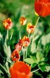 Куст тюльпана Стоковое Изображение