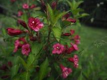 Куст цветений красный фиолетовый, цветки предпосылка, лето стоковые изображения