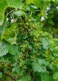 Куст черной смородины с не пока созретыми зелеными ягодами в саде стоковые изображения rf