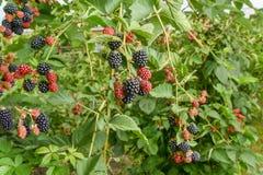 Куст ягоды ежевичника с черным зрелым крупным планом ягод Концепция сбора ягод в сельской местности, тонизируя стоковое изображение