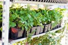 Куст ягоды земледелия, культивируемые свежие продукты стоковые изображения rf