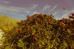 Куст ягоды Стоковые Изображения