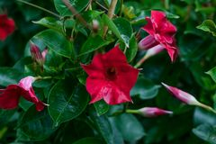 Куст Mandevilla Красный Dipladenia на зеленой естественной предпосылке Красный конец-вверх цветка r Цветки приправляют Ботаническ стоковая фотография