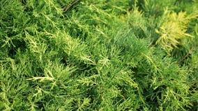Куст occidentalis туи вечнозеленое хвойное дерево в кипарисовые семьи кипариса Предпосылка конспекта зеленого растения акции видеоматериалы