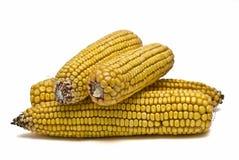 куча высушенная corncobs Стоковая Фотография RF