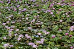 Куча лилии воды в пруде стоковое фото