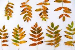 Куча листьев осени, предпосылка конусов сосны чокнутая излишек белая граница листьев собрания красивая красочная от осени Стоковое Фото