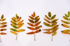 Куча листьев осени, предпосылка конусов сосны чокнутая излишек белая граница листьев собрания красивая красочная от осени Стоковое Изображение