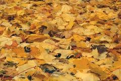 Куча оранжевых кленовых листов стоковые изображения