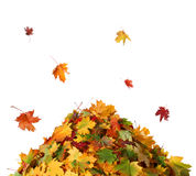 Куча осени покрасила листья изолированный на белой предпосылке Стоковая Фотография RF