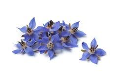 Куча свежих цветков borage стоковые фотографии rf