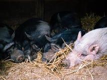 Куча спать свиней стоковые изображения