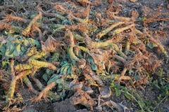 Куча урожая ненужная корня белой капусты сорванного стоковые фото