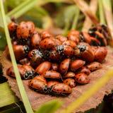 Куча ladybugs Стоковая Фотография RF