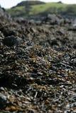 Кучи морской водоросли озером в Шотландии стоковые фото