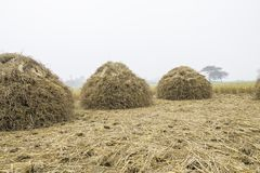 3 кучи соломы риса светят вверх и ждущ жмущ зерно риса стоковые изображения rf